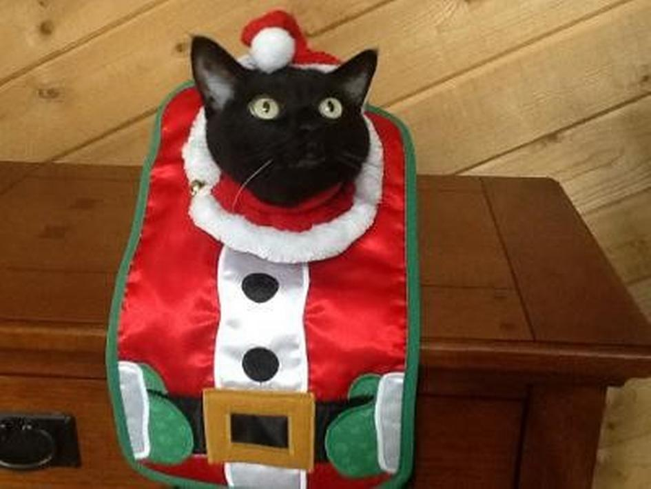 Thanksgiving is still a week out, but Vaughn the festive feline is ready for Christmas.