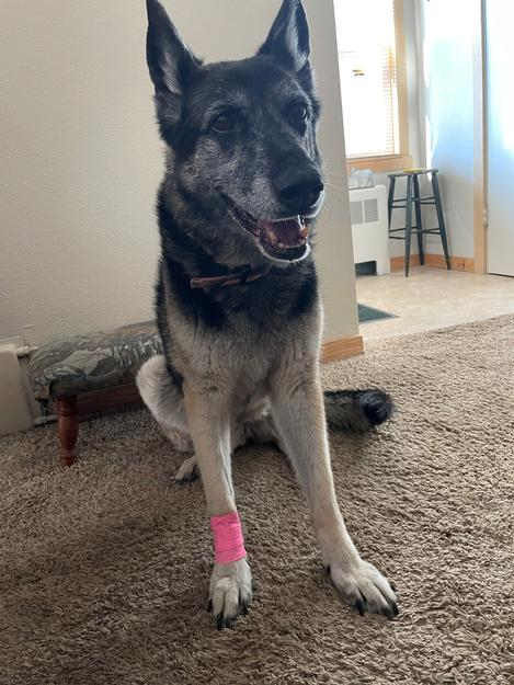 Roxy, a 13 year old German Shepherd. She dislocated her paw.