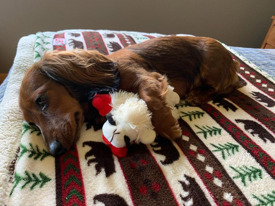 Tilly Lu, a mini dachshund is featured in the childrens book 'The Hidden Treasure of the Sax-Zim Bog!'
