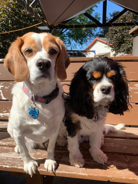 Olive the Beagle and Nigel the Cavalier King Charles Spaniel. These best friends watch GMN every day!