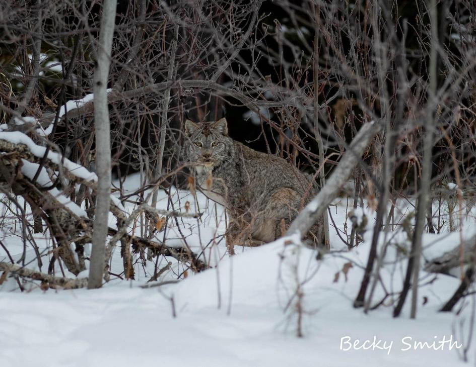 Canadian lynx outside of Cook