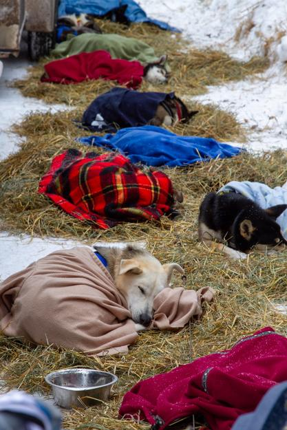 All tucked in. Erin Letzring's dogs resting at Trail Center checkpoint