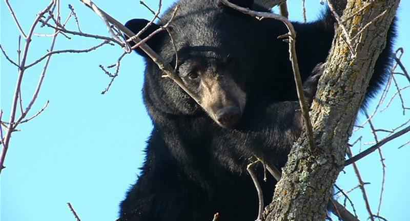 Homeowners can avoid conflicts with bears by removing food sources such as garbage and bird feeders.