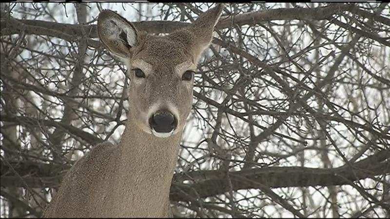 Cwd Infection Rate In Tested Wis Deer Declines Www Wdio Com