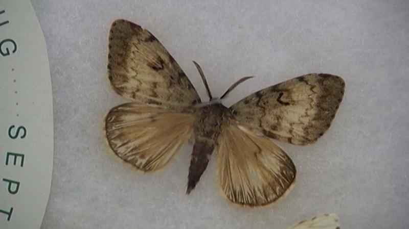 The Minnesota Department of Agriculture will treat 73,500 acres in the Split Rock/Beaver Bay area to slow the spread of a gypsy moth infestation.