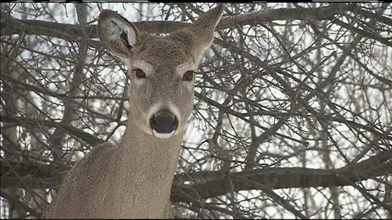 Drop in Wisconsin Deer Licenses Raises Funding Concerns