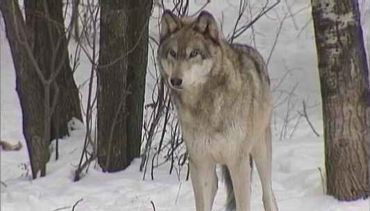 One gray wolf found dead on Isle Royale in Michigan.