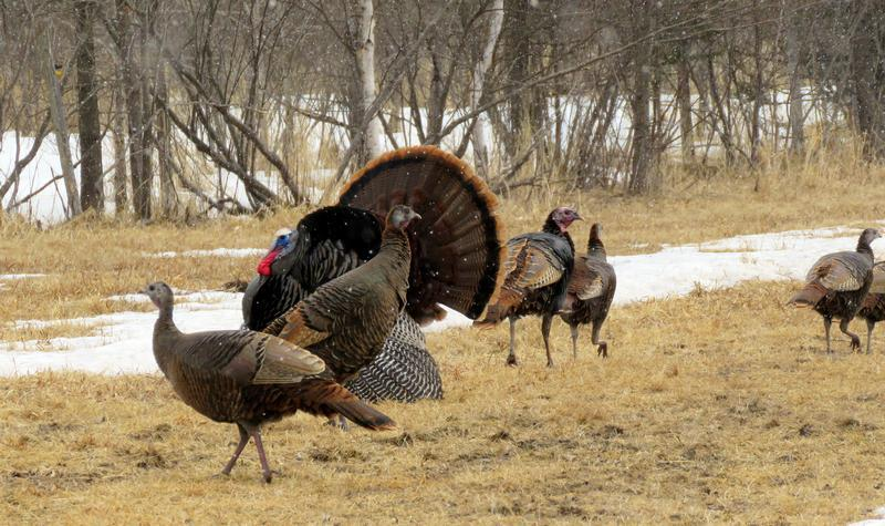 Wisconsin Spring Turkey Harvest Similar to Last Year