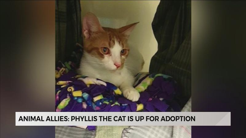 Phyllis is�a white and orange tabby Domestic Short Hair lady who is about 1 year old and is looking for a forever home.