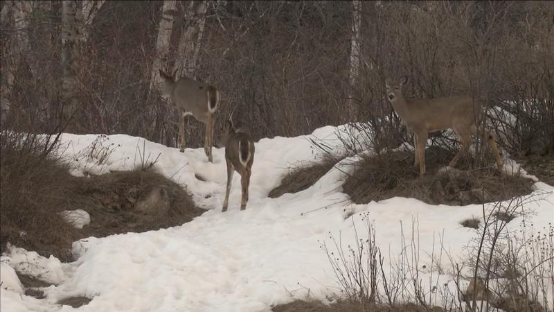 Firearms deer season opens in Wisconsin