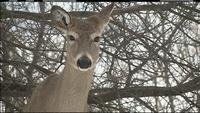 FILE - More possible cases of chronic wasting disease have been found in deer in southeastern Minnesota.