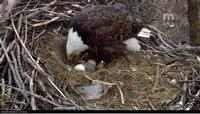 One of the eagles with the eaglet