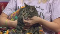 Titan is a vocal 5-year-old that's trying to 'talk' his way into a forever home. He's available for adoption�at Animal Allies.