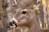Minnesota lawmakers want to crack down on deer farms as concern grows about chronic wasting disease among wild deer in southeastern Minnesota.