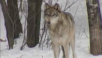 FILE - One of the wolves moved to Isle Royale last fall has found his way off the island.