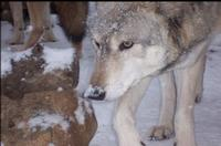 Federal Plans Would Trigger Wisconsin Wolf Hunt