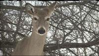 7 Deer Test Positive for CWD at Crow Wing Co. Deer Farm