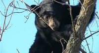 DNR Board Makes First Revisions to Bear Plan in 39 Years