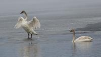 Minnesota Man Charged with Killing 2 Trumpeter Swans