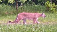 Michigan DNR wildlife biologists confirmed this photo taken on a landowner's trail camera is a cougar.