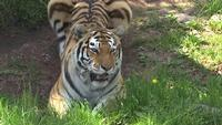 Lake Superior Zoo: Lana the Tiger has Died