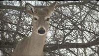 Michigan Governor Vetoes Bill to End Deer Baiting Ban