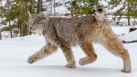 Minnesota Put on Notice Over Incidental Trapping of Lynx