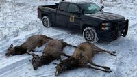 Area residents found three illegally killed elk in Michigan's Pigeon River State Forest.