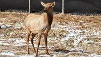 The elk that died was among a group moved from Kentucky last spring.