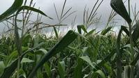 Wisconsin corn growers expect to see record yields